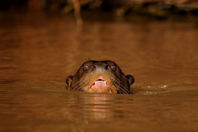 Giant Otter Pteronura brasiliensis. Rio São Lourenço, Mato Grosso, Brasil.