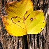 US-VA-000347.psd - Autumn Tulip Tree Leaf on Tree Stump, Great Falls, Virginia