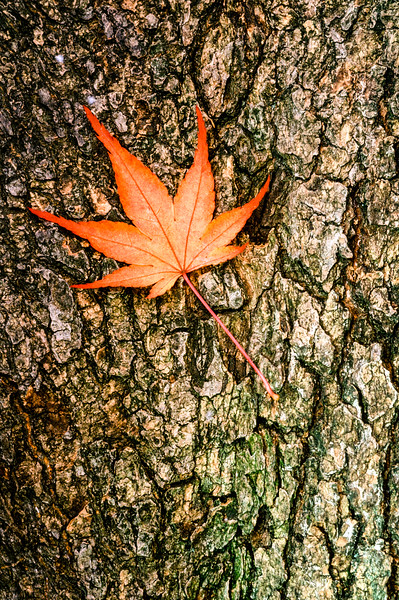 US-VA-000364.psd - Autumn Maple Leaf on Bark, Great Falls, Virginia