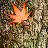US-VA-000364.psd - Autumn Maple Leaf on Bark, Great Falls, Virginia