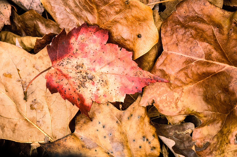 US-VA-000343.psd - Autumn Leaf Litter, Great Falls, Virginia