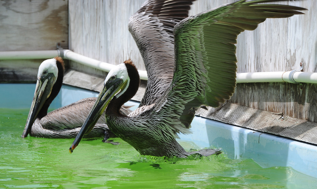 . Pelican with a slashed throat pouch at International Bird Rescue in San Pedro, where she has been recovering since the mutilation in Long Beach. (at center)  (Apr.23, 2014 Photo by Brad Graverson/The Daily Breeze)