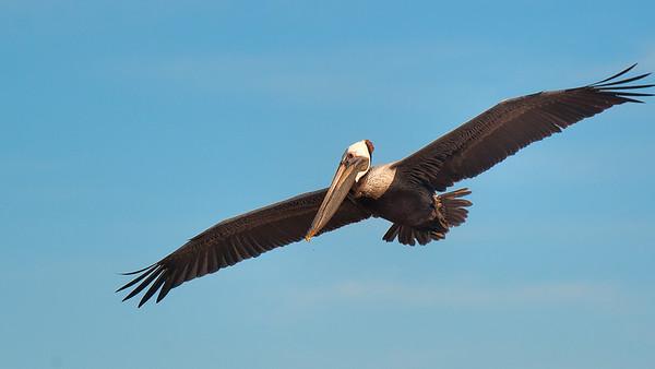 Pelicano Swarm in Banderas Bay