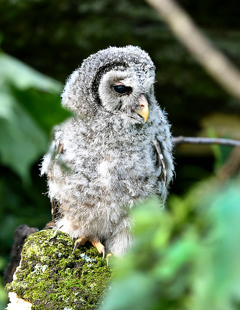 John P. Cleary | The Herald Bulletin <br /> One of the victims of Monday's tornado is this young owl who lost it's nesting tree in Falls Park after most were destroyed by the storm.