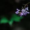 Naked Tick Trefoil (Hylodesmum nudiflorum)