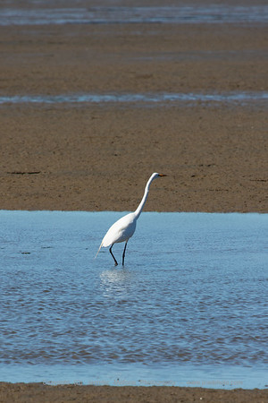 Egret South of Point Reyes