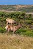 Male and Female Elk Grazing