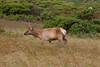 Lone Young Buck Elk Exploring