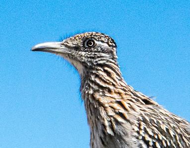 RR Sandias BIRD 02894