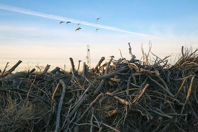 branches birds C0611