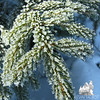 Frosted Spruce.
