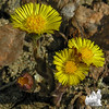 Colt's Foot (Tussilago fanfare)