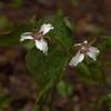 Sunday- Painted Trillium (Trillium undulatum)