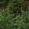 Wild Lupine (Lupinus perrenis)