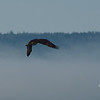 In first five minutes since getting up I watched this Osprey dive and catch a small fish...