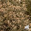 Pearly Everlasting (Anaphalis margaritacea)