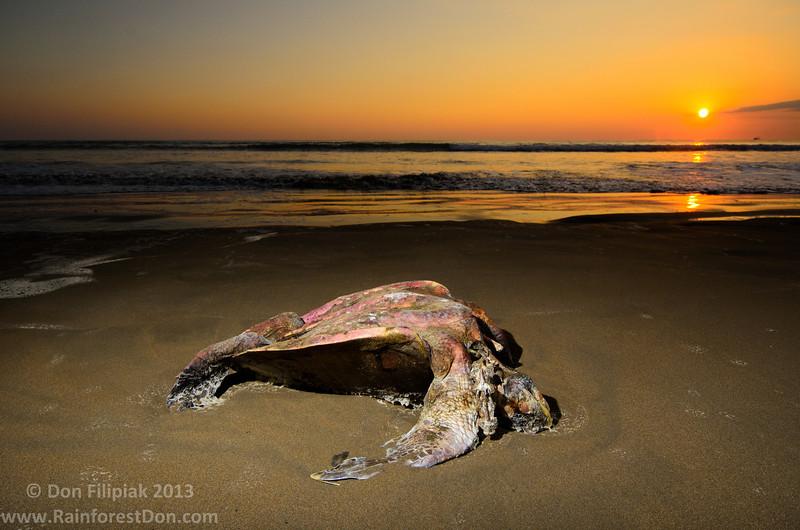 Click the link for the full story: http://canopy-life.blogspot.com/2013/02/beauty-from-death.html  Green sea turtle (<i>Chelonia mydas</i>) Baru, Costa Rica January 2013