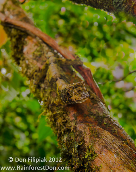 My favorite species of anole, the Pug-nosed Anole (Norops capito), varies from shades of brown and gray to brown and green, to mostly green with brown and gray highlights. They are truly masters of camouflage.