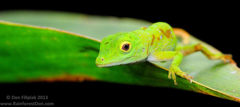 Green Tree Anole (<I>Norops biporcatus</i>), juvenile Rara Avis Rainforest Reserve, Costa Rica
