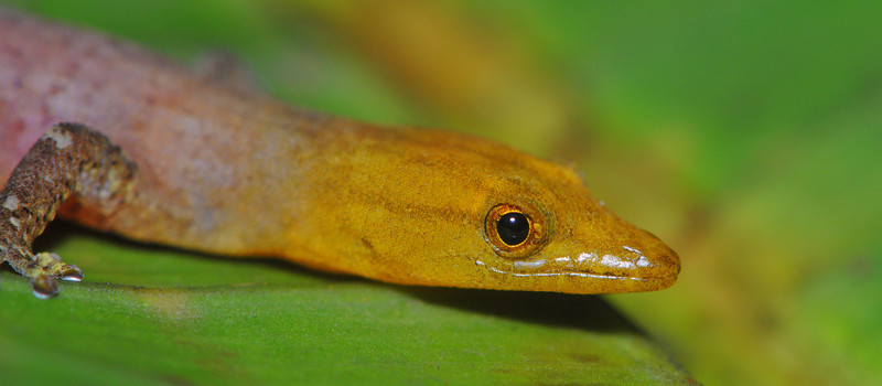 <I>Sphaerodactylus homolepis</i>, adult male