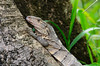 Black Spiny-tailed Iguana (<i>Ctenosaura similis</i>)