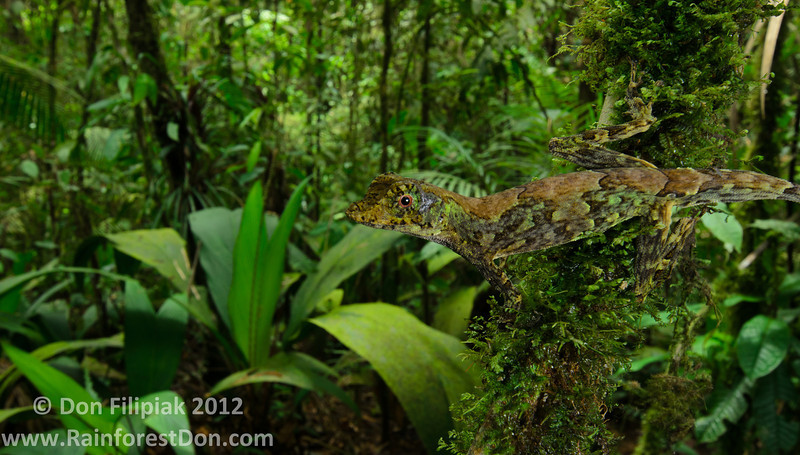 My favorite anole species presented in dynamic wide angle- the cryptic ambush predator, Pug-nosed Anole (<i>Norops capito</i>)