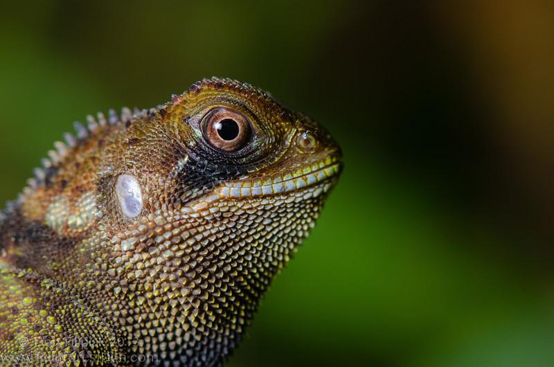 <i>Enyalioides heterolepis</i> El Cope, Panama