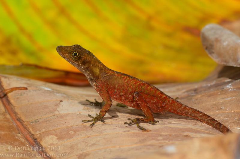 Ground anole (<i>Norops humilus</i>) Rara Avis Rainforest Reserve, Costa Rica March 2013