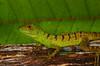 A juvenile Green basilisk (<I>Basiliscus plumifrons</i>) Rara Avis Rainforest Reserve, Costa Rica