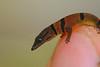<I>Sphaerodactylus homolepis, juvenile on my finger tip