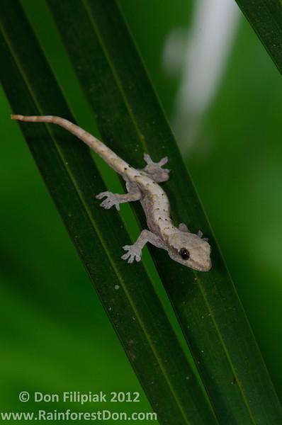 A neonate <I>Lepidodactylus lugubris</i>