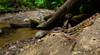 <i>Norops aquaticus</i> is a very colorful stream inhabitant of southwestern Costa Rica.