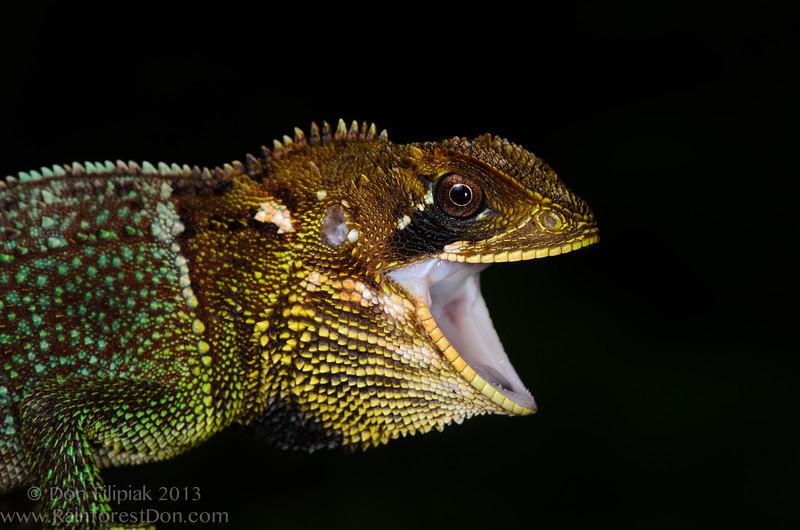 <i>Enyalioides heterolepis</i> Cerro Chucanti, Darien, Panama May 2013