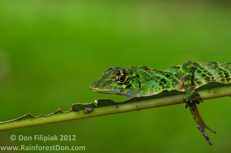 <i>Dactyloa frenatus</i> Gamboa, Panama