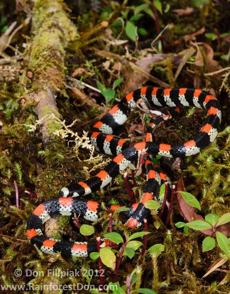 <i>Scolecophis atrocinctus</i> Cangreja National Park, Costa Rica