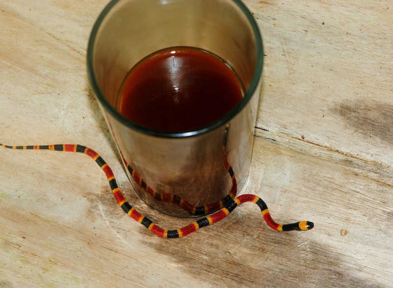 """Morning coffee with a friend.  A very young Central American Coral Snake (<i>Micrurus nigrocinctus """"mosquitensis""""</i>). These snakes possess a very potent neurotoxin that is used to quickly immobilize their prey, which consists primarily of other snakes, with a side dish of caecilians, eels, and other elongated animals."""