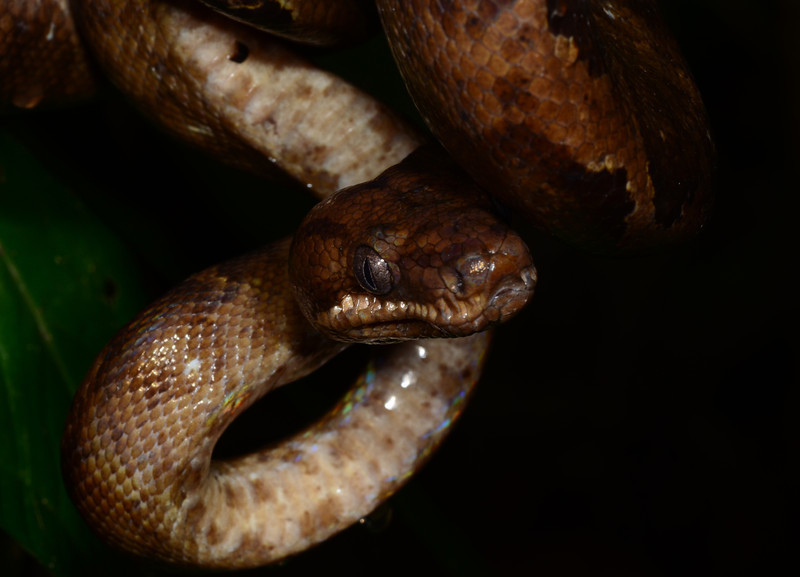 A closeup shot of a subadult Annulated Tree Boa (<i>Corallus annulatus</i>)