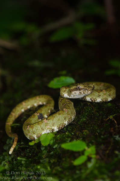 Eyelash viper (<i>Bothriechis schlegelii</i>) El Cope, Panama May 2013