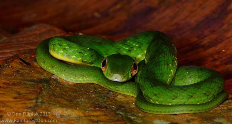 The Lower-montane Green Racer (<i>Drymobius melanotropis</i>) is a gorgeous snake that inhabits mid-elevation undisturbed rainforests. Of all the green colored snakes that I've encountered, this juvenile is my favorite.