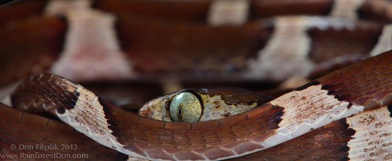 Brown blunt-headed vine snake (<i>Imantodes cenchoa</i>) Finca La Escondida, Cordillera de Talamanca, Costa Rica