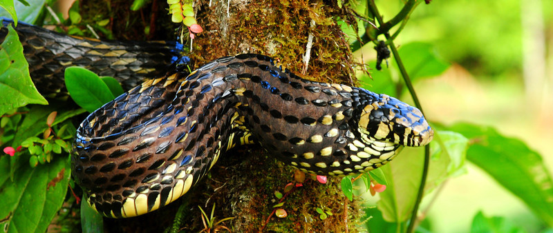 This Tiger Ratsnake (<i>Spilotes pullatus</i>) from Costa Rica inflates itself as a denfensive behavior. The idea is to make yourself look bigger and meaner...it worked. This individual was already just a few inches shy of eight feet in total length.