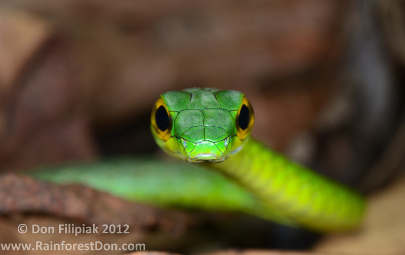 Green Parrot Snake (<i>Leptophis ahaetulla</i>) Cano Palma Biological Station, Costa Rica