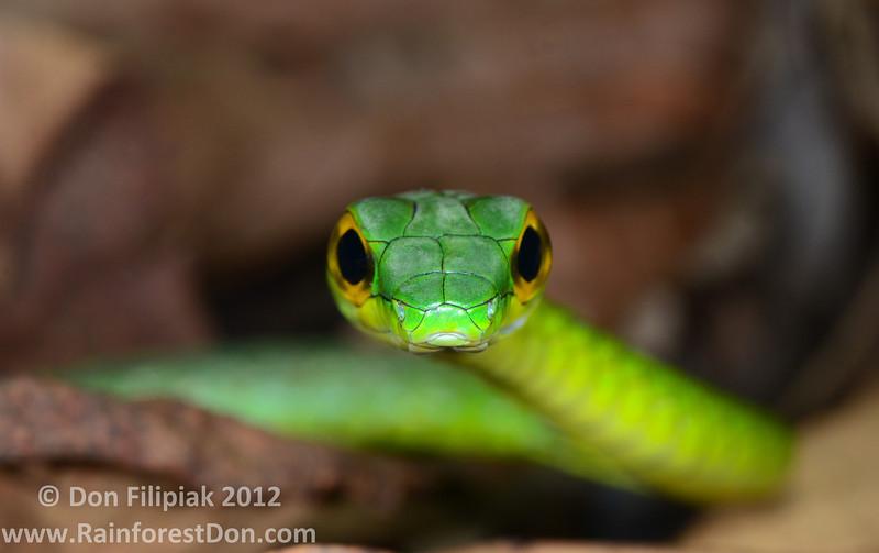 Green Parrot Snake (<i>Leptophis ahaetulla</i>) Cano Palma Biological Station, Costa Rica