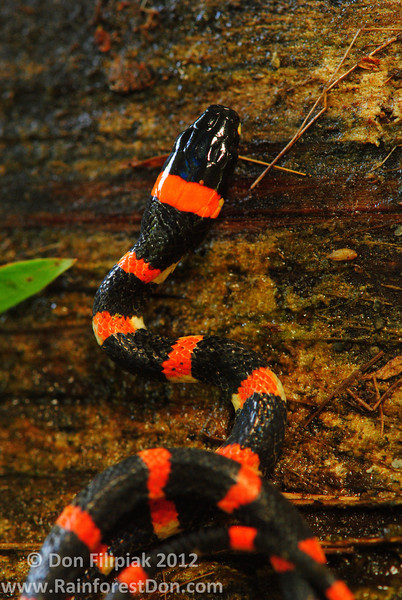 This juvenile Halloween snake (<i>Urotheca euryzona</i>) is from the Rara Avis Rainforest Reserve in the foothills of nothern Costa Rica.