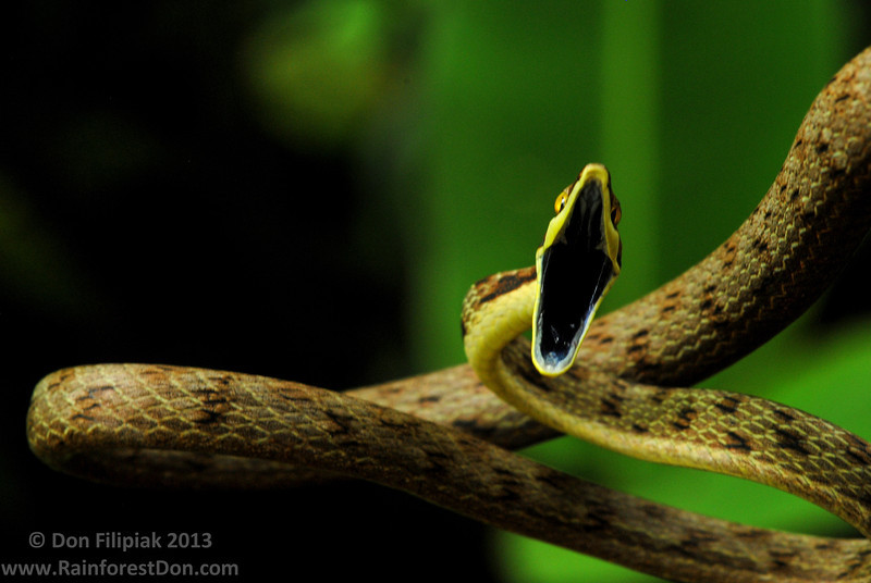 Brown vine snakes (<i>Oxybelis aeneus</i>) are rear-fanged, mildly venomous snakes that can often be found hunting lizards along forest edges and other sun drenched areas.