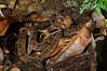 False fer-de-lance (<i>Xenodon rabdocephalus</i>) Darien, Panama May 2013