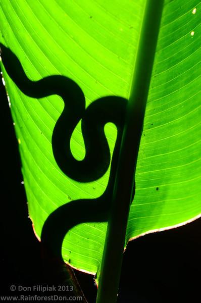A silhouetted Dwarf Bromeliad Boa (<i>Ungaliophis panamensis</i>)
