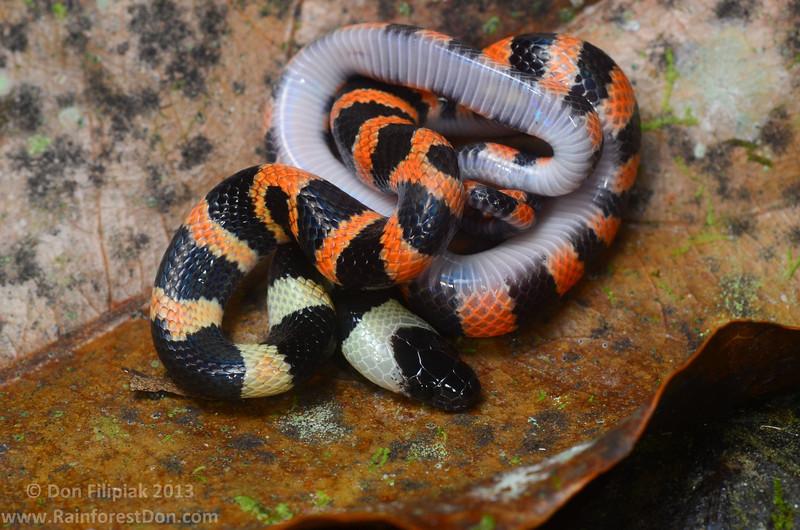 Calico Snake (<i>Oxyrhopus petolarius</i>) This specimen displays typical juvenile coloration Finca La Escondida, Costa Rica