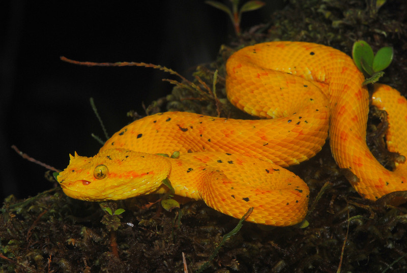 "The aptly named Eyelash Viper (<i>Bothriechis schlegelii</i>) comes in a variety of colors. This gold phase is locally called ""oropel"", which loosely translates to: ""gold skin""."