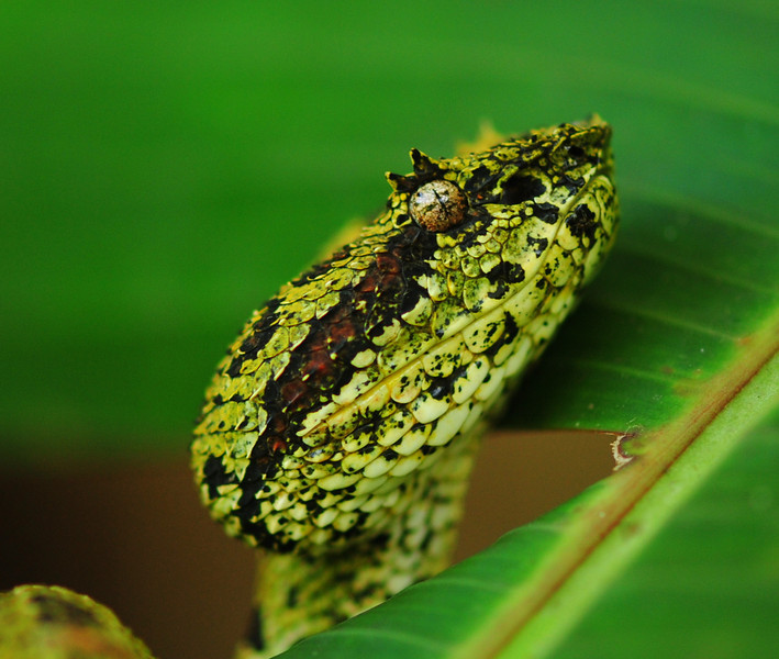 The beautiful and iconic Eyelash Palm Pitviper, need I say more? Their common name is derived from the presence of enlarged superciliary scales above each eye that are said to resemble eyelashes. The function of these protuberances are not yet fully understood, though there are many theories to explain this distinctive morphology.